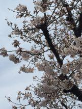 交野の現場の隣地の桜