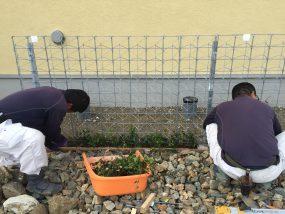 里山住宅博でテイカカズラを職人さんが植えている